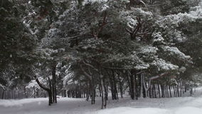 Forest where it is snowing and covers the branches of trees and pines stock video