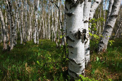 The forest of white birches Stock Photography