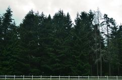 Forest with a White Fence. Pacific Northwest Forest with tall pine trees behind a simple white fence near Mt. Rainier, Washington Royalty Free Stock Photos