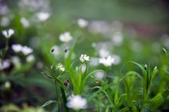 Forest white flowers. Forest glade with white flowers in  grass royalty free stock image