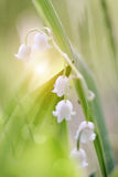 Forest white lilies of the valley. Stock Photo
