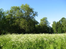 Forest and white meadow. Summer landscape - forest behind, meadow with white grass in front Royalty Free Stock Photo