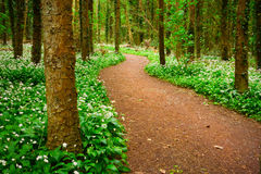 Forest with white wild flowers Royalty Free Stock Image
