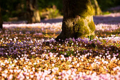 A forest of wild Cyclamen. Stock Images