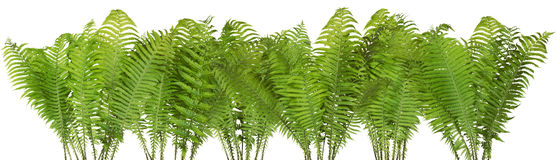 Forest wild fern isolated border Royalty Free Stock Images