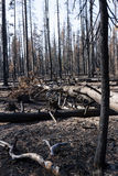 The forest after a wild fire. Burned charred trees some still standing after the National Creek Complex Fire burned this large Section Of Crater Lake National Stock Photo