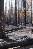 The forest after a wild fire. Burned charred trees some still standing after the National Creek Complex Fire burned this large Section Of Crater Lake National Royalty Free Stock Photos