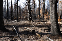 The forest after a wild fire. Burned charred trees some still standing after the National Creek Complex Fire burned this large Section Of Crater Lake National Royalty Free Stock Images