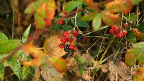 Forest wild fruit. Black and red forest wild fruit Royalty Free Stock Image