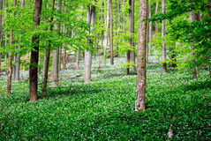 Forest with wild garlic flowers Royalty Free Stock Image