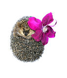 Forest wild hedgehog with flower of clematis isolated Stock Images