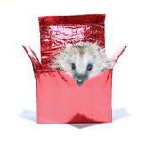 Forest wild hedgehog get out of the gift box isolated Royalty Free Stock Images