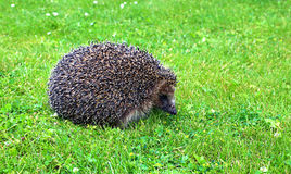 Forest wild hedgehog Stock Photos