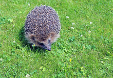 Forest wild hedgehog Royalty Free Stock Images