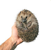 Forest wild hedgehog in the hand isolated Stock Images