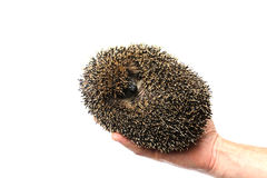 Forest wild hedgehog isolated Stock Photography