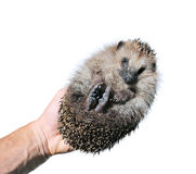 Forest wild hedgehog isolated Royalty Free Stock Photo