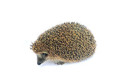Forest wild hedgehog isolated Stock Image