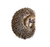 Forest wild hedgehog isolated Royalty Free Stock Photos