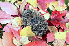Forest wild hedgehog Royalty Free Stock Image