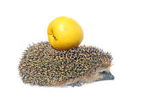 Forest wild hedgehog with yellow apple on the back isolated Stock Photo