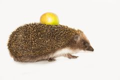 Forest wild hedgehog. With yellow apple on the back isolated on white background Stock Photo