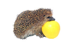 Forest wild hedgehog with yellow apple isolated Royalty Free Stock Photography