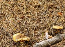 Forest wild mushroom on the ground Royalty Free Stock Image