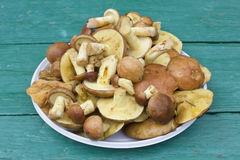 Forest wild mushrooms Royalty Free Stock Image