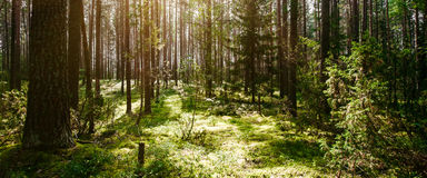 Forest. Wild plants and trees. Ecology panorama Stock Images