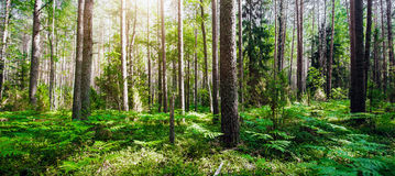 Forest. Wild plants and trees. Ecology panorama stock image