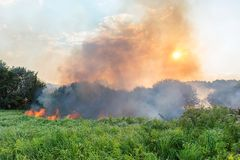 Forest wildfire. Burning field of dry grass and trees. Heavy smoke against blue sky. Wild fire due to hot windy weather. In summer royalty free stock images