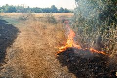 Forest wildfire. Burning field of dry grass and trees. Heavy smoke against blue sky. Wild fire due to hot windy weather in summer.  stock image
