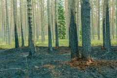 Pine tree forest after wildfire in spring. Forest after wildfire in spring,disaster background royalty free stock photography
