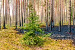Pine tree forest after wildfire in spring. Forest after wildfire in spring,disaster background stock photo
