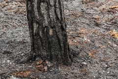 Pine tree forest after wildfire in spring. Forest after wildfire in spring,disaster background royalty free stock image