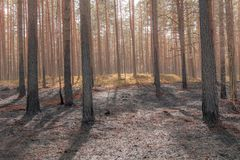 Pine tree forest after wildfire in spring. Forest after wildfire in spring,disaster background royalty free stock photos