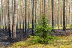 Pine tree forest after wildfire in spring. Forest after wildfire in spring,disaster background stock photos