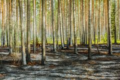 Pine tree forest after wildfire in spring. Forest after wildfire in spring,disaster background royalty free stock photo