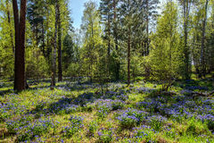 Forest wildflowers blue spring Pulmonaria Royalty Free Stock Image