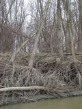 Forest willow. Willow roots are on shore water view. Twigs, dried roots that keep willows in life royalty free stock images