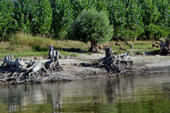 Forest of willow trees grubbed. Intensive Here roots of willow trees remaining on the Danube royalty free stock photos