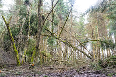 Forest with wind debris Stock Image
