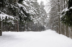 Forest in winter Stock Photography