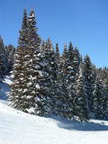 Forest in Winter. Big pine forest during winter in the Rocky Mountains royalty free stock images