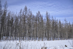 Forest in winter. In north of china Royalty Free Stock Images
