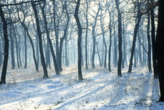 Forest in winter. With sun rays and shadows Stock Photos