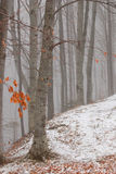 Forest of winter. Forest of beech trees in winter with snow on ground Royalty Free Stock Photography
