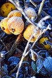 Forest winter apple frost. Cold Royalty Free Stock Image