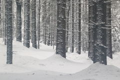Forest in winter. A forest in Bavarian forest in winter, Germany Royalty Free Stock Photo